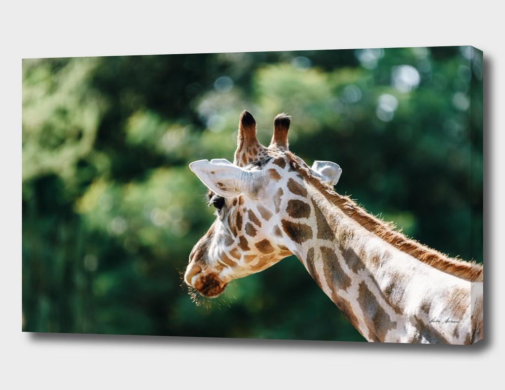 Northern Giraffe (Giraffa Camelopardalis) Portrait