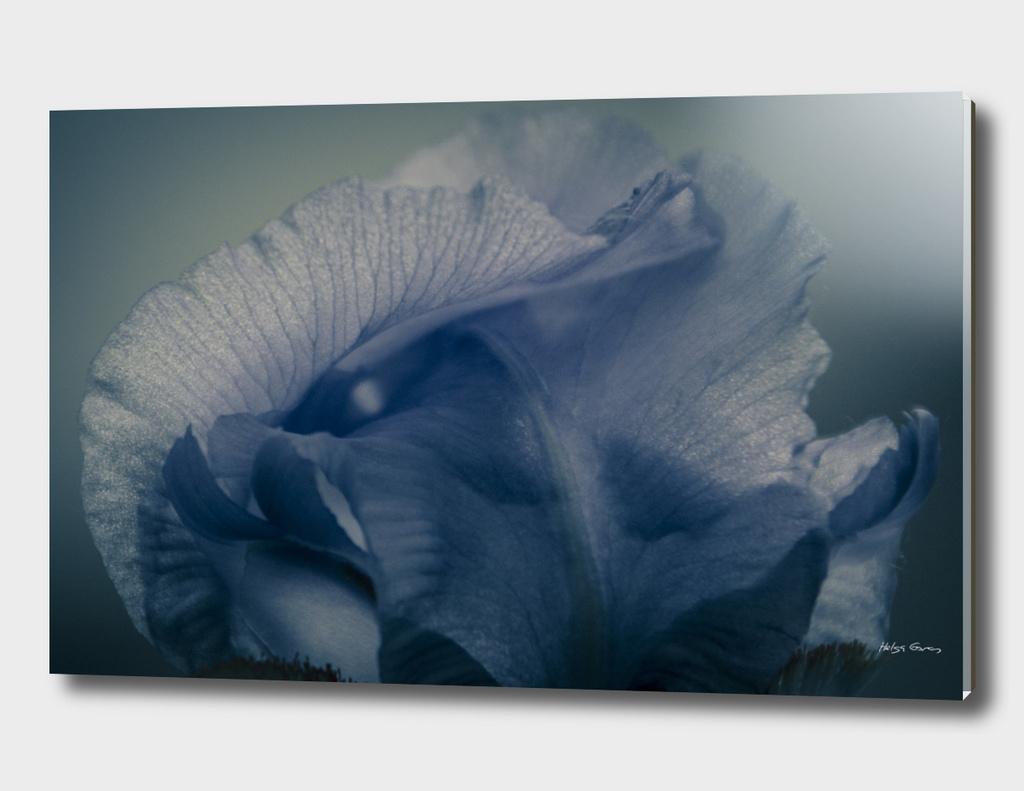 iris -blue