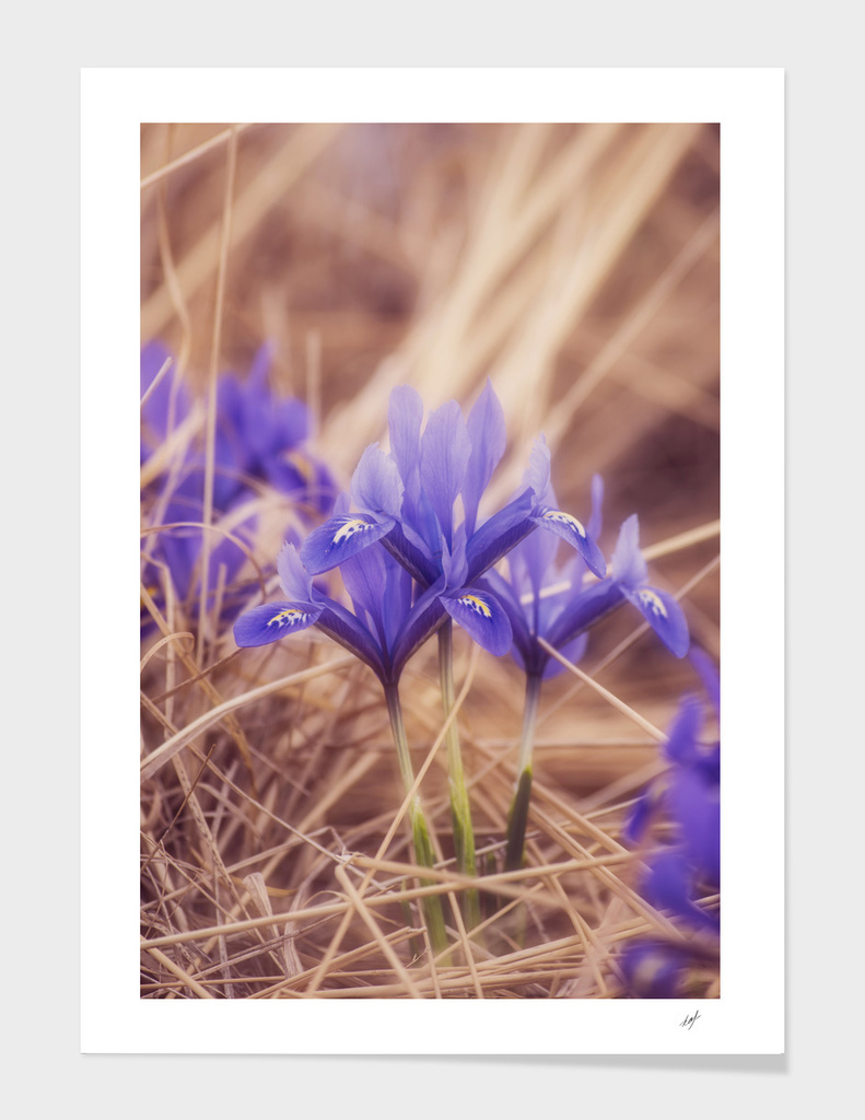 Small Iris