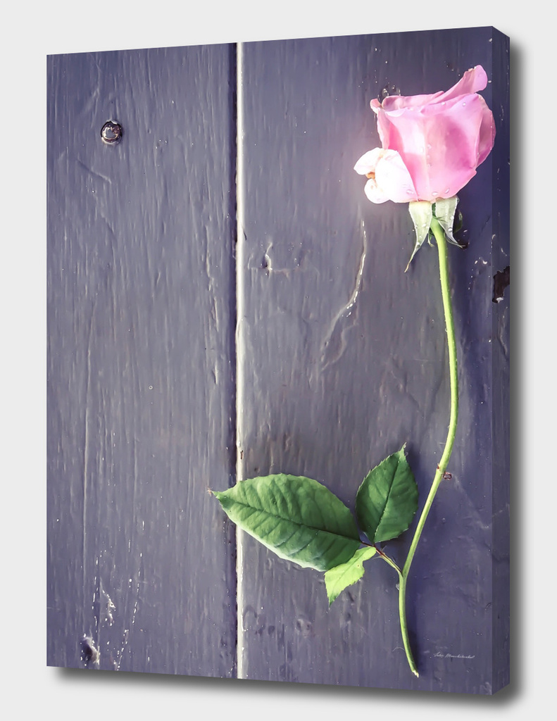pink rose with green leaves and wood background