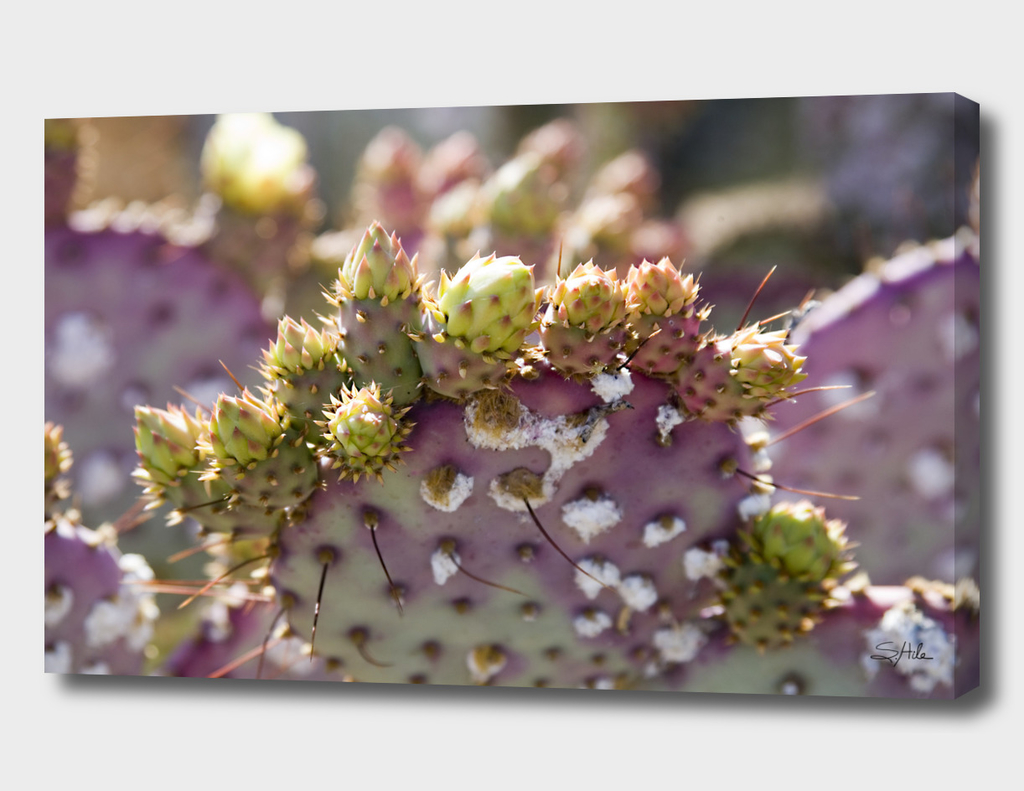 Purple Prickly Pear
