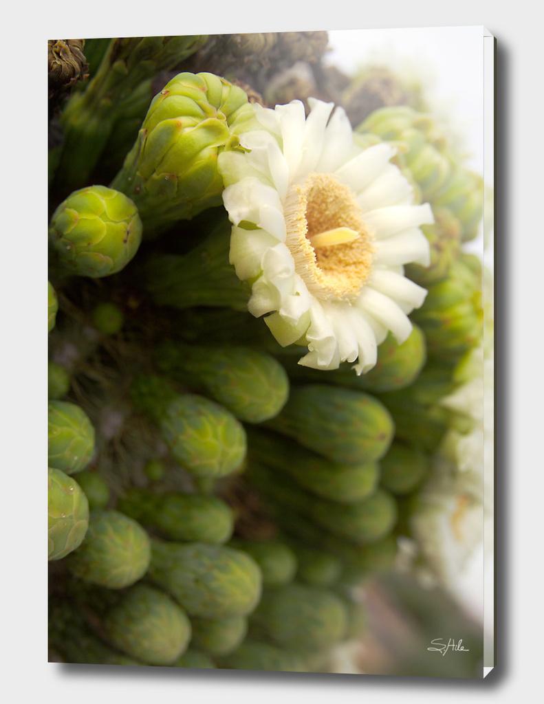 Saguaro Blossom_1