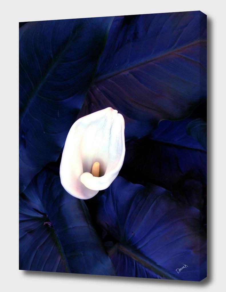 Lily Blues