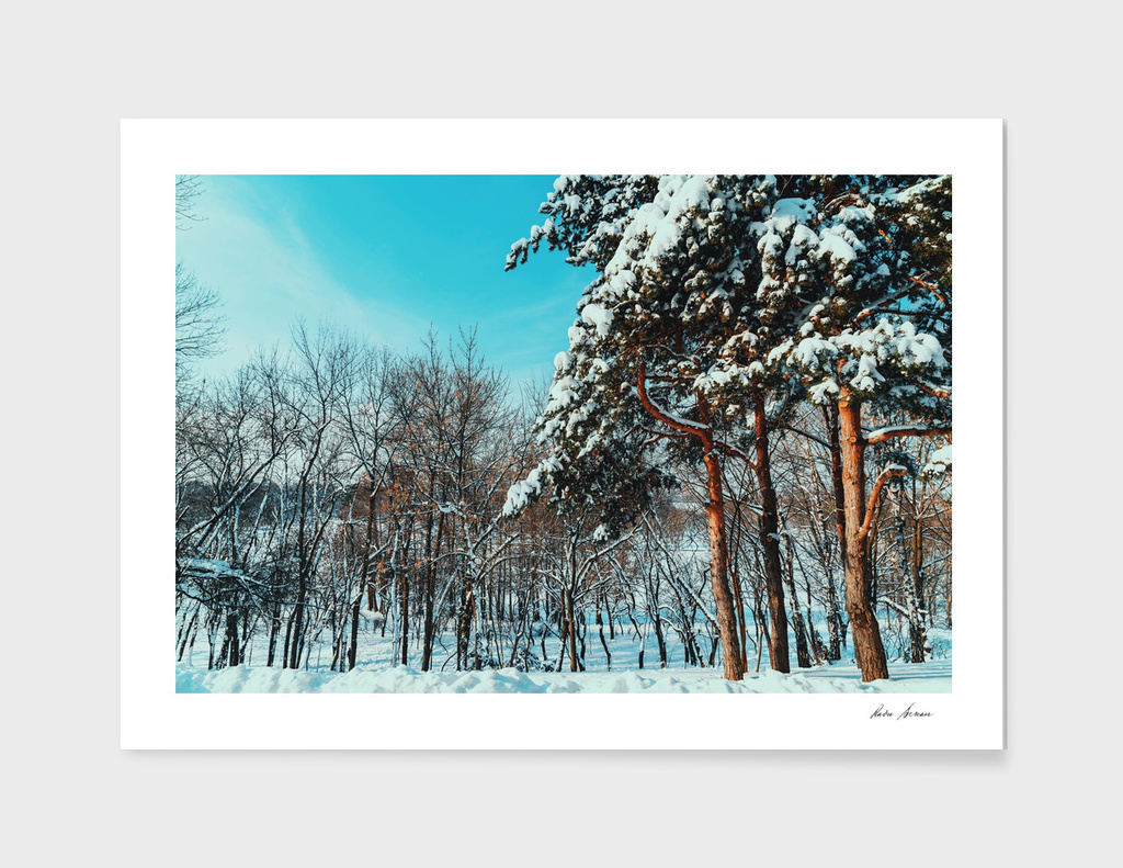 Forest Trees Covered With White Winter Snow