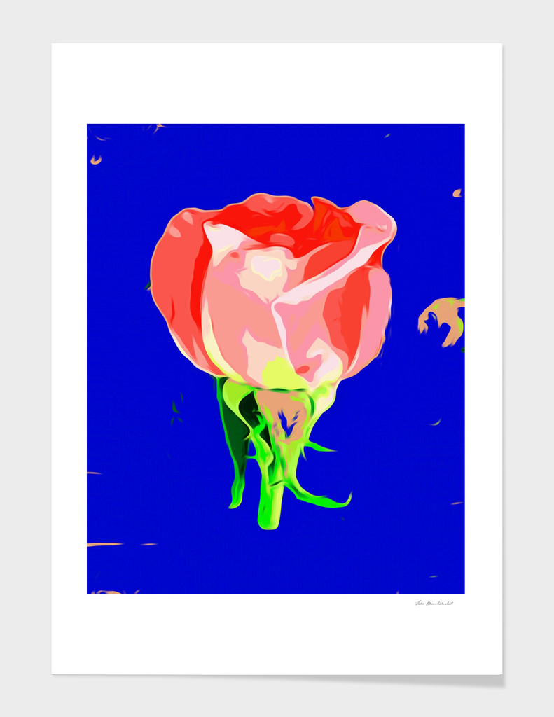 red rose with dark blue background