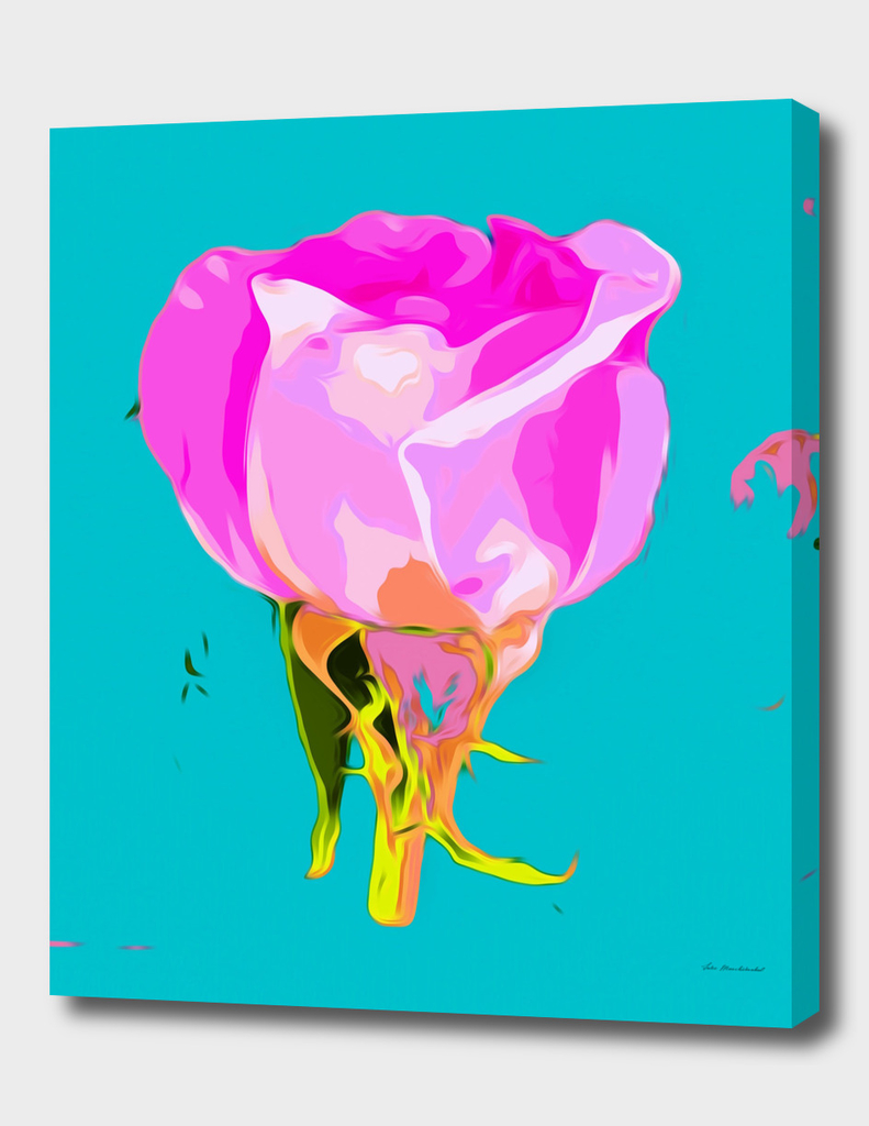 pink rose with blue background