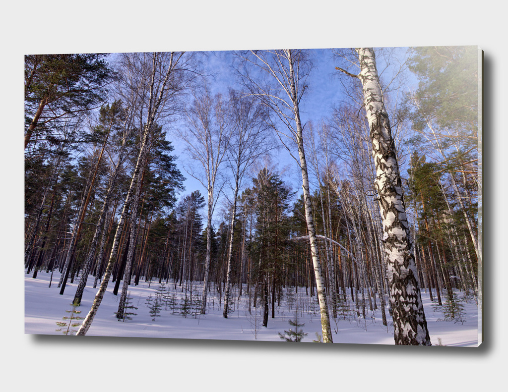 Winter. Forest. Birch