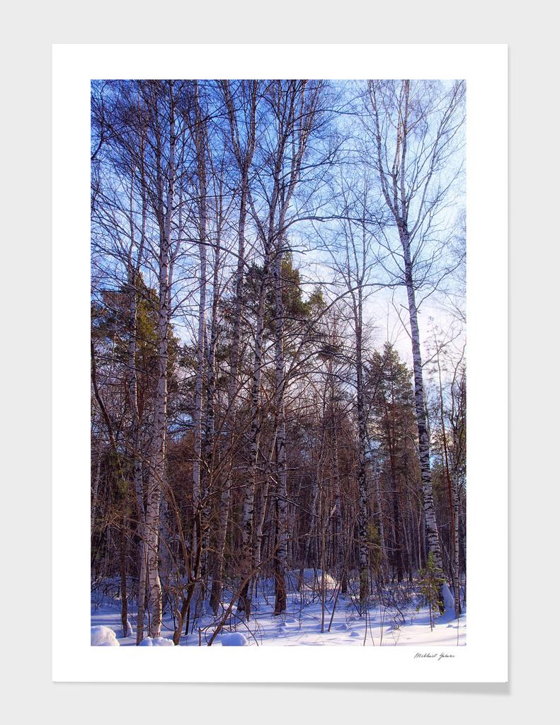 Winter. Forest. Birch