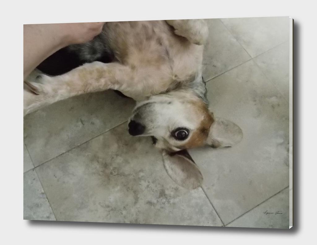 Affectionate Beagle