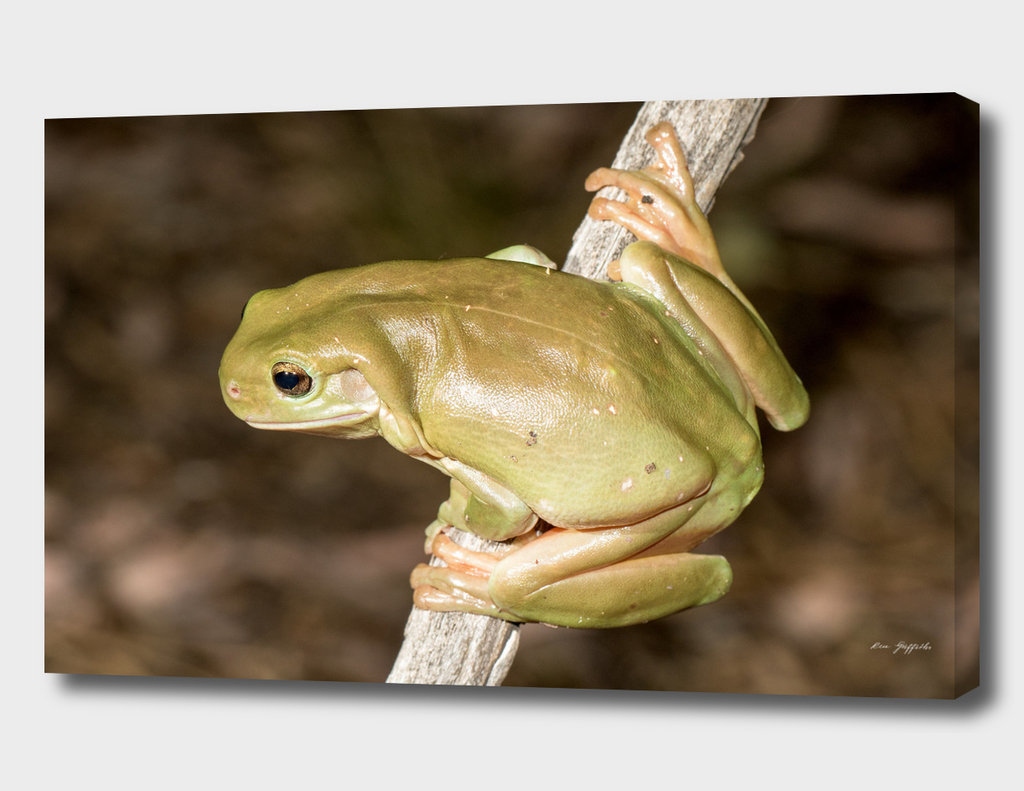 Green Tree Frog (litoria careula)
