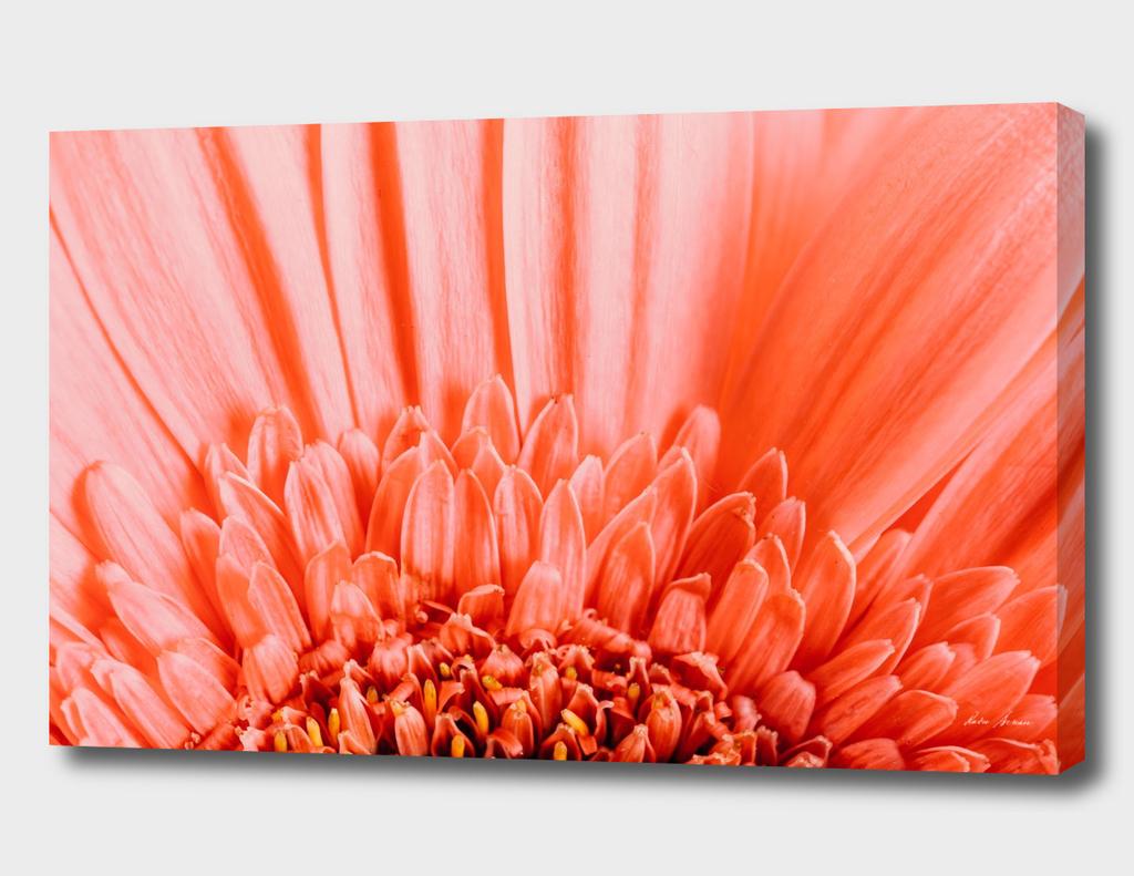 Pink Gerbera Flower Petals