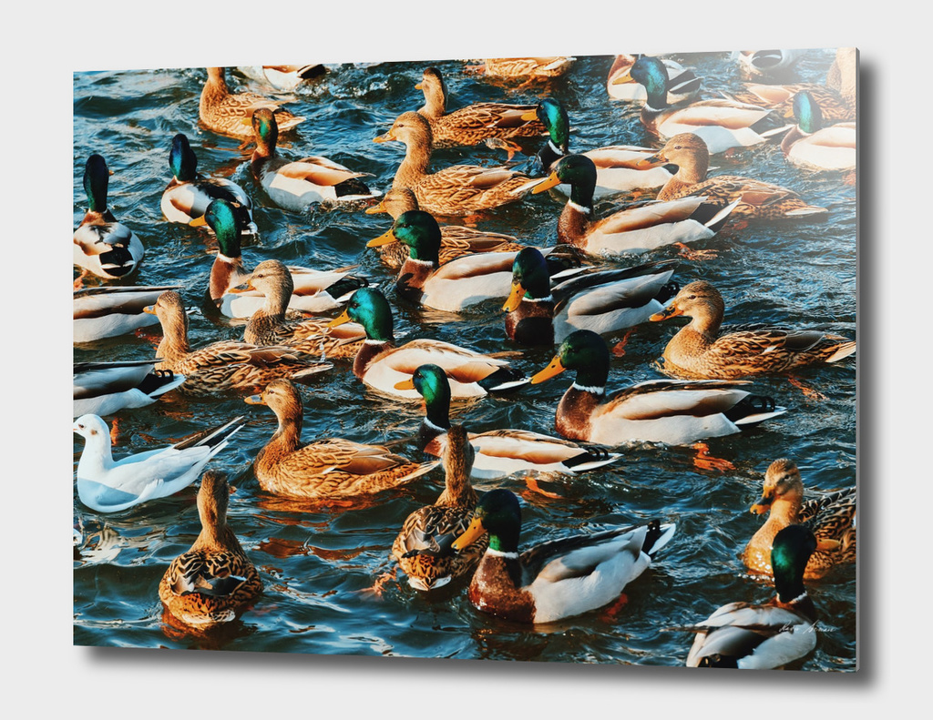 Wild Ducks And Seagulls On Water In Winter