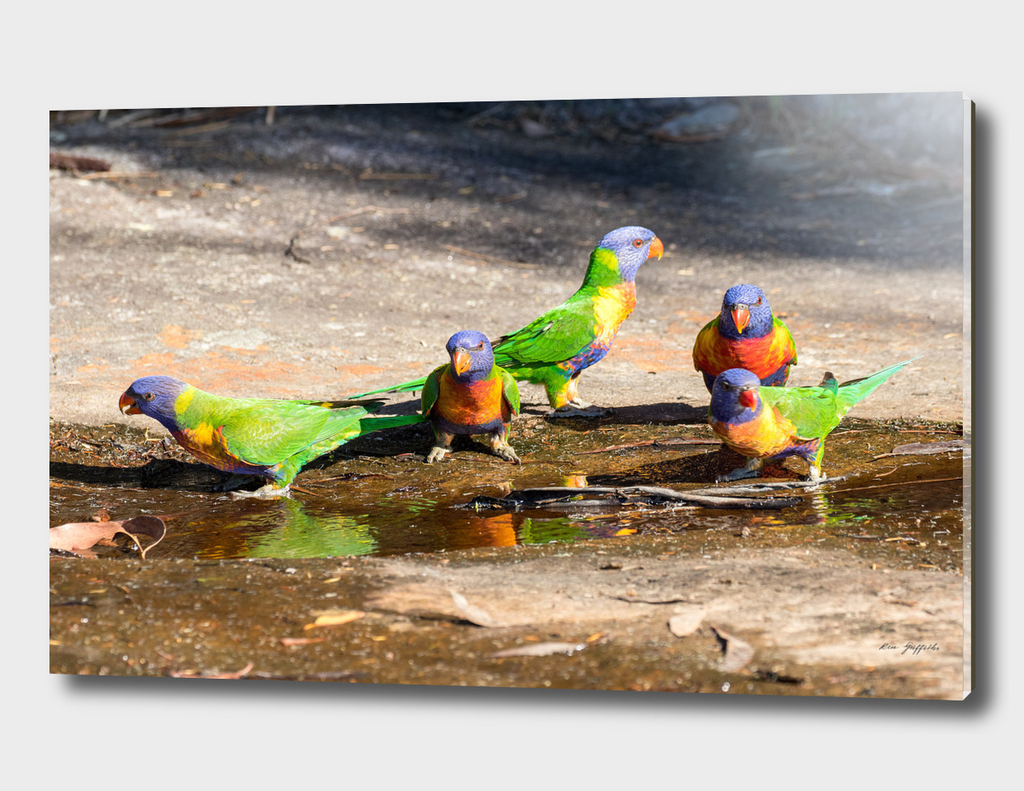 Rainbow Lorikeet - 167 9879