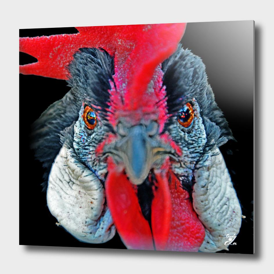 Black Rooster.
