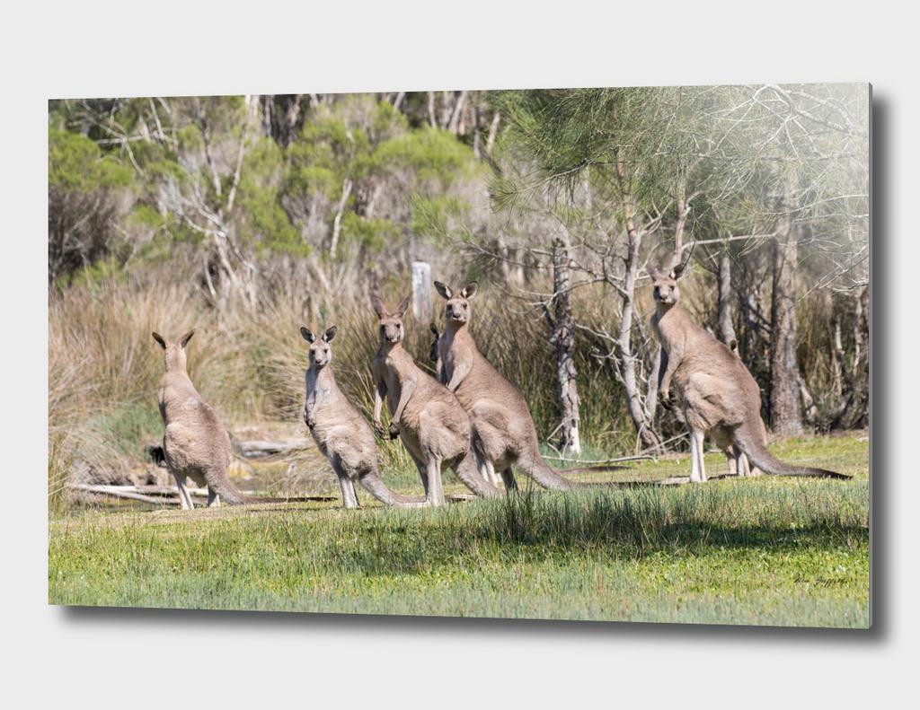 Eastern Grey Kangaroo's 165 4700
