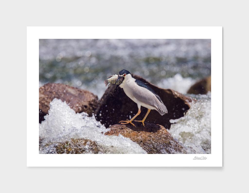 Black-crowned night heron 2