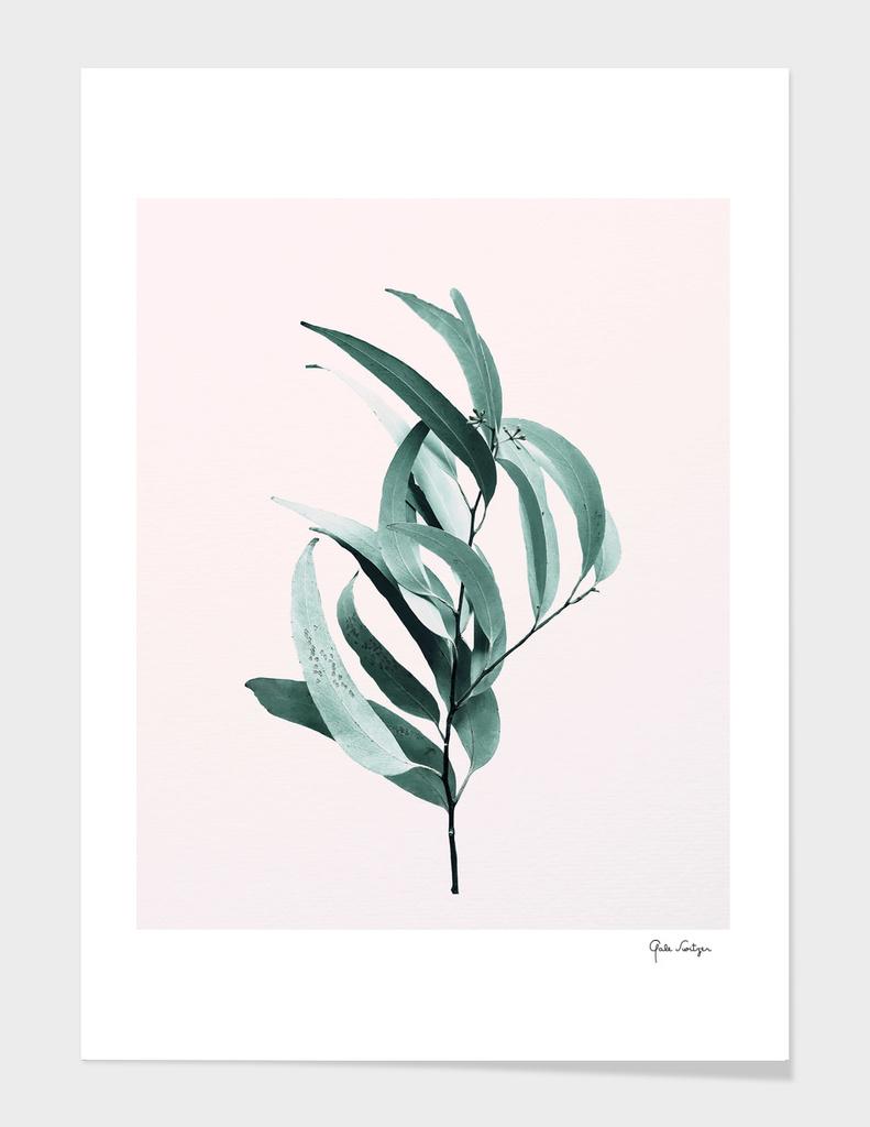 Eucalyptus II - Australian gum tree