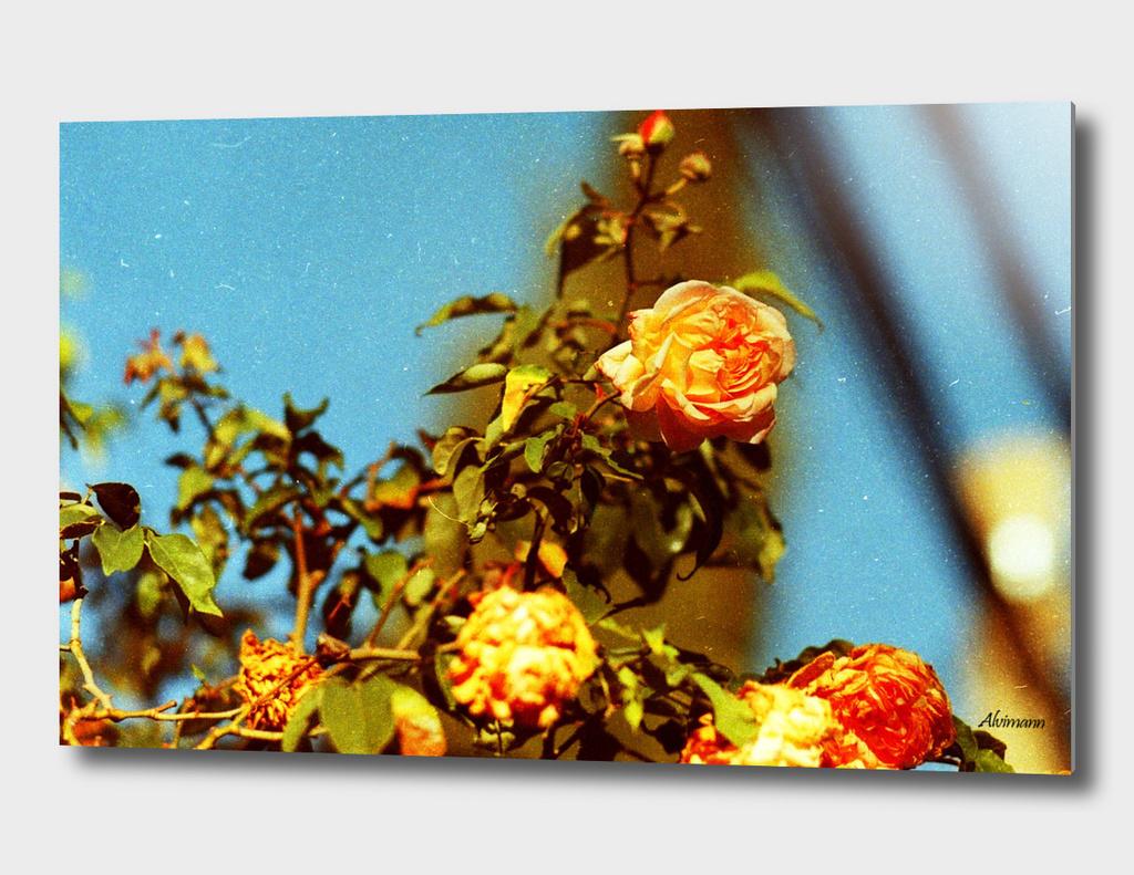 Orange Rose on 35mm film