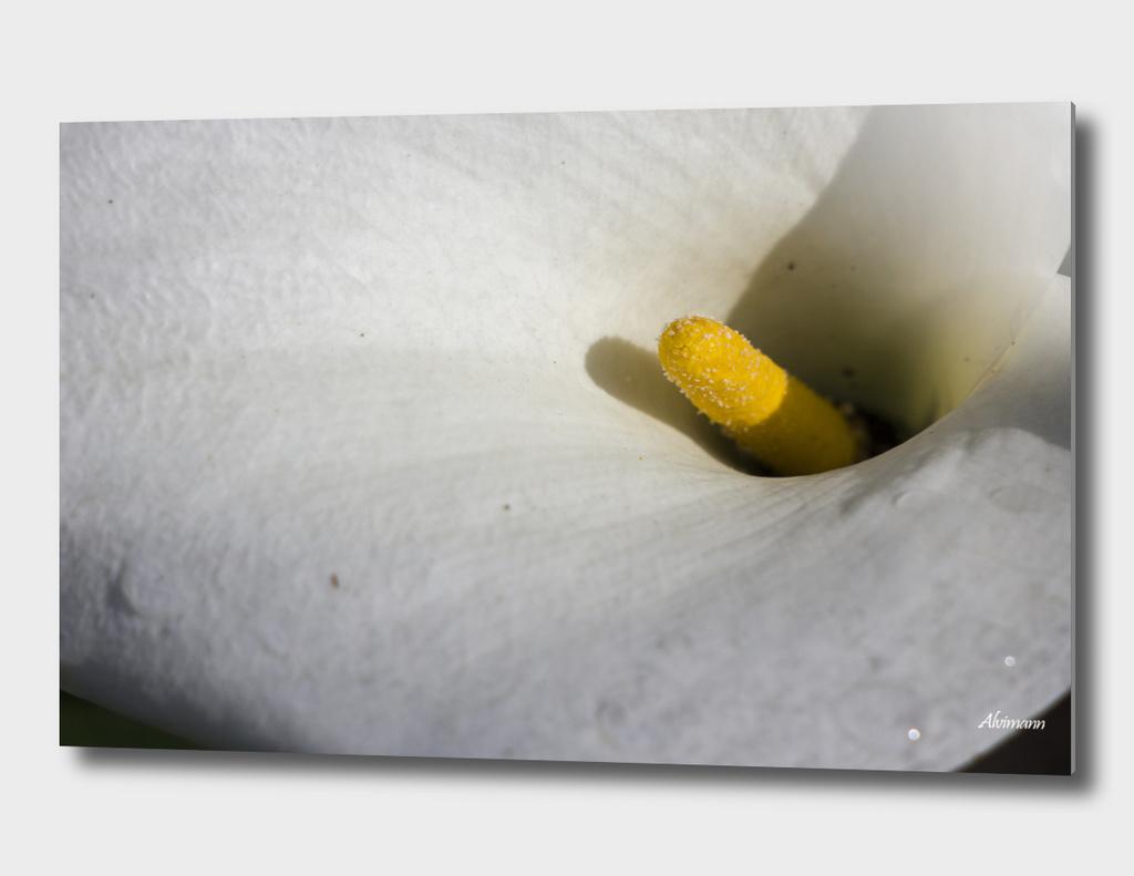Arum Lily Flower