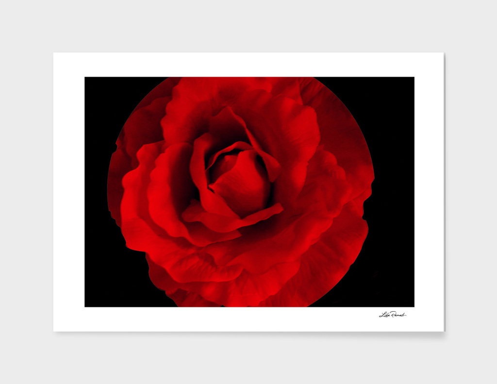 Red Rose by Lika Ramati