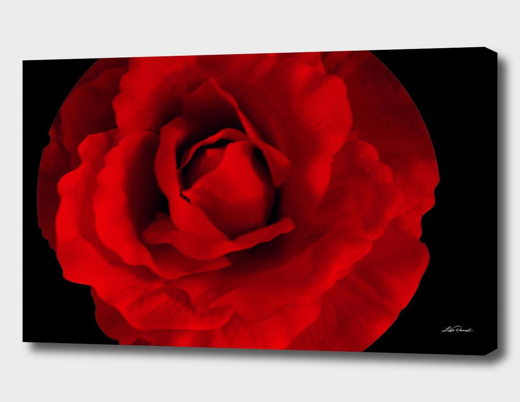 Red Rose by Lika Ramati