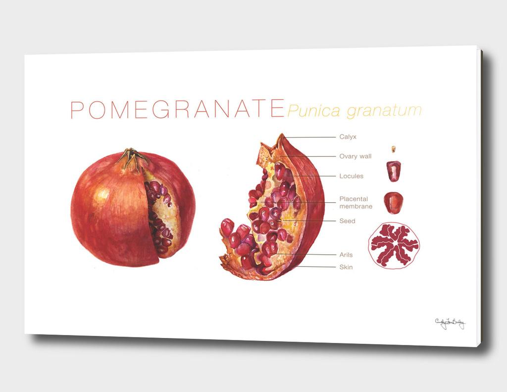 Pomegranate Cutaway Diagram