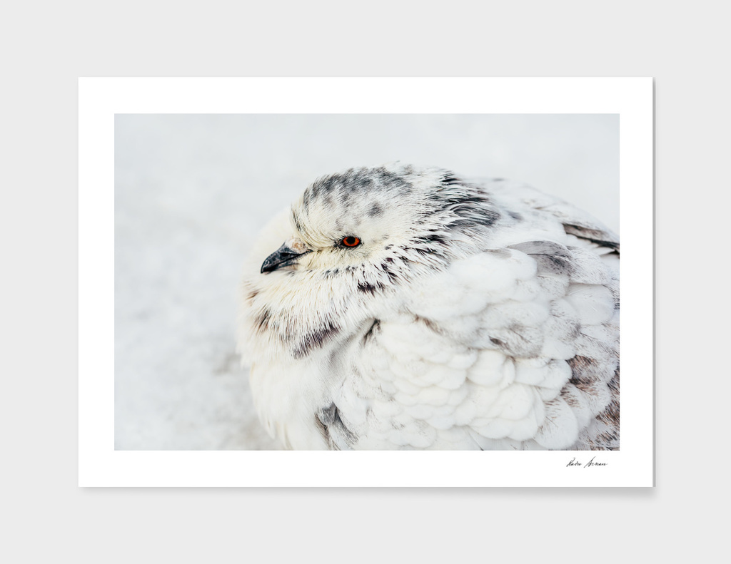 White And Gray Pigeon Bird Freezing In Cold Winter Weather