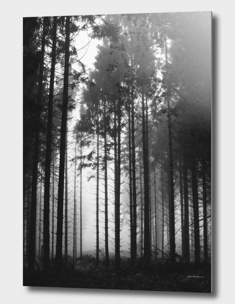 Tall trees in b&w