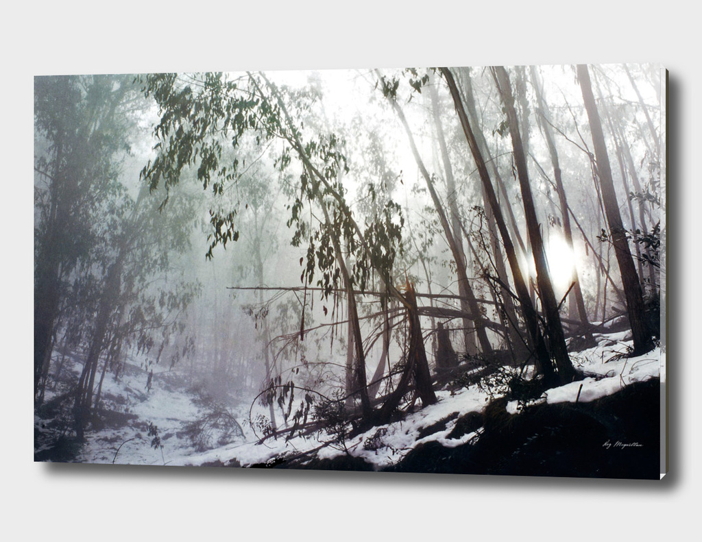 Misty Trees, Mount Buffalo