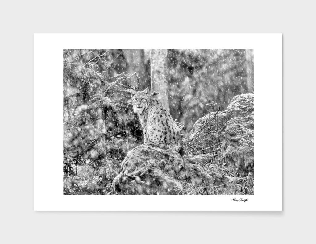 Eurasian Lynx (Black & White Edition)
