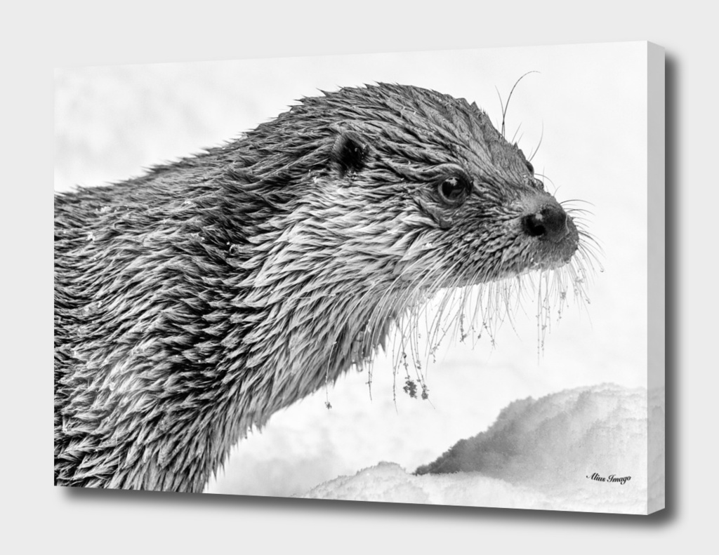 Eurasian Otter ( Black & White Edition)