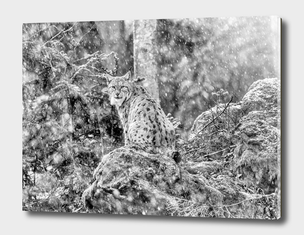 Eurasian Lynx (Black & White Edition)