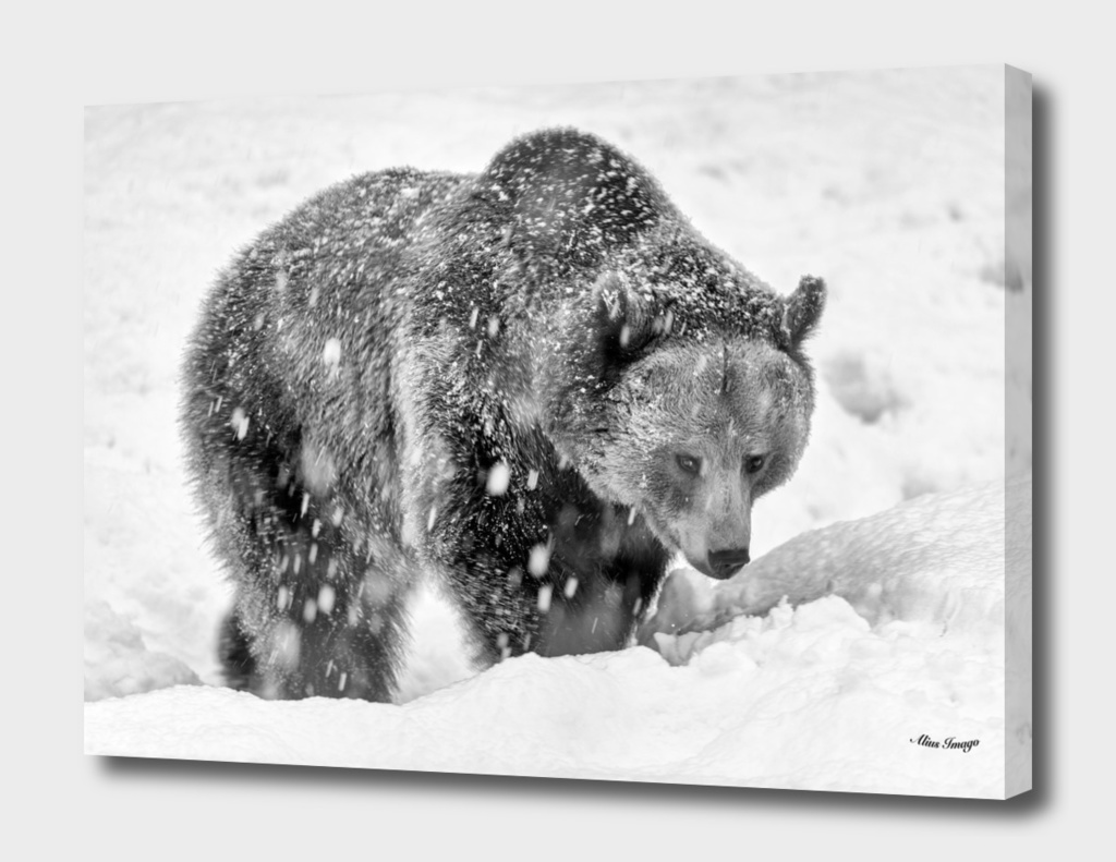 Eurasian Brown Bear (Black & White Edition)
