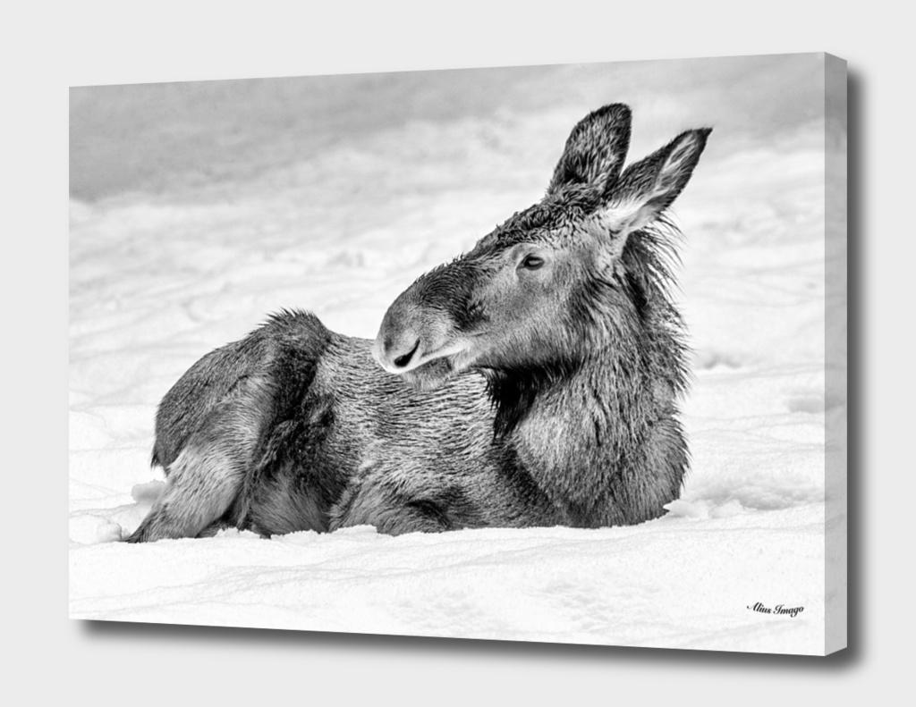 Eurasian Elk Calf (Black & White Edition)