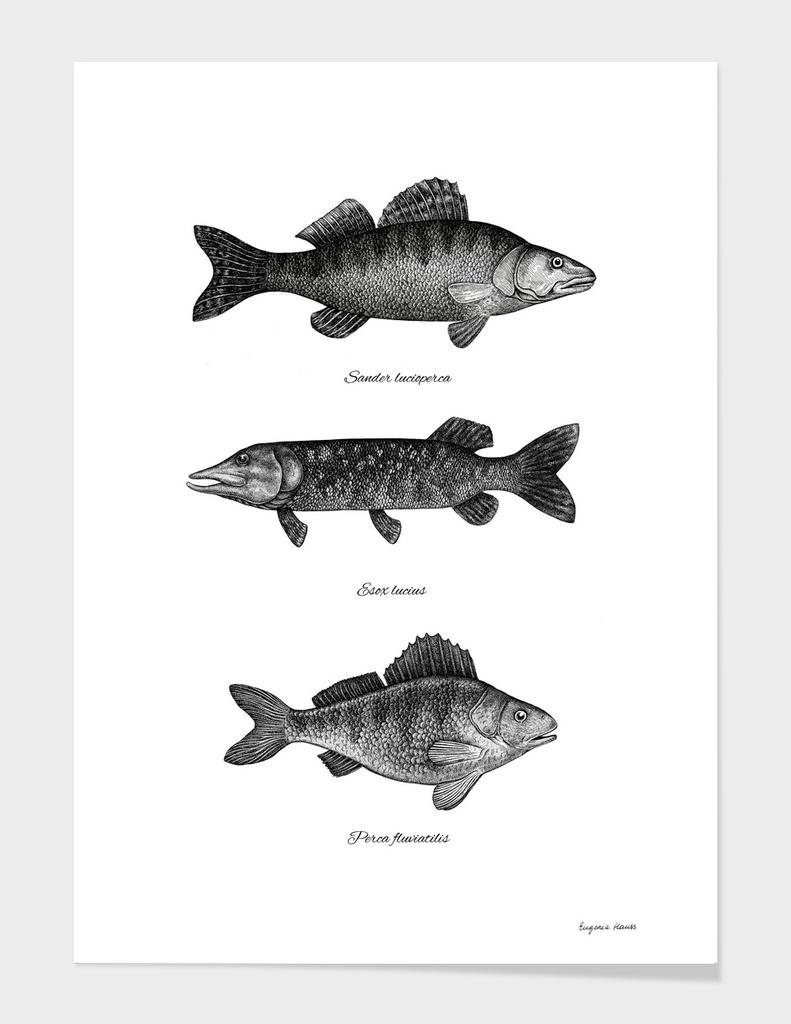 Zander, Pike And Perch