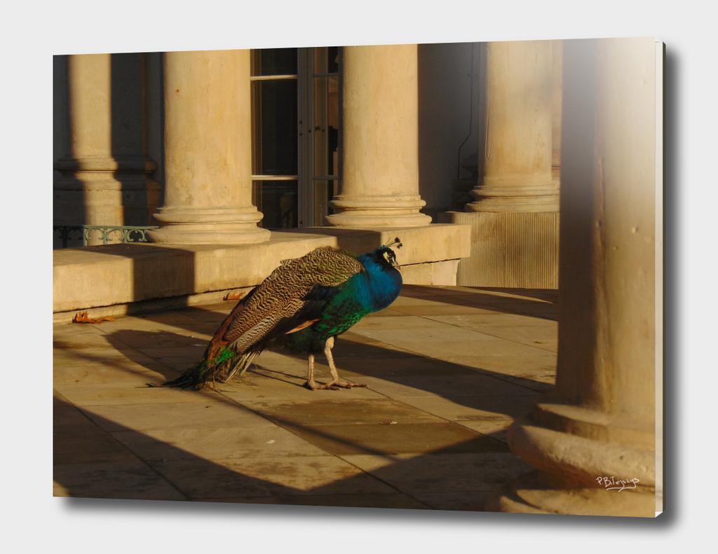Peacock among the ruins