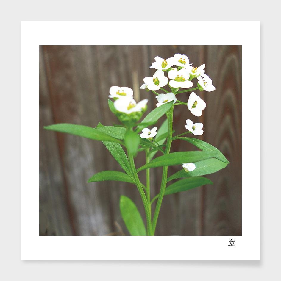 Tiny White Alyssum Wildflowers