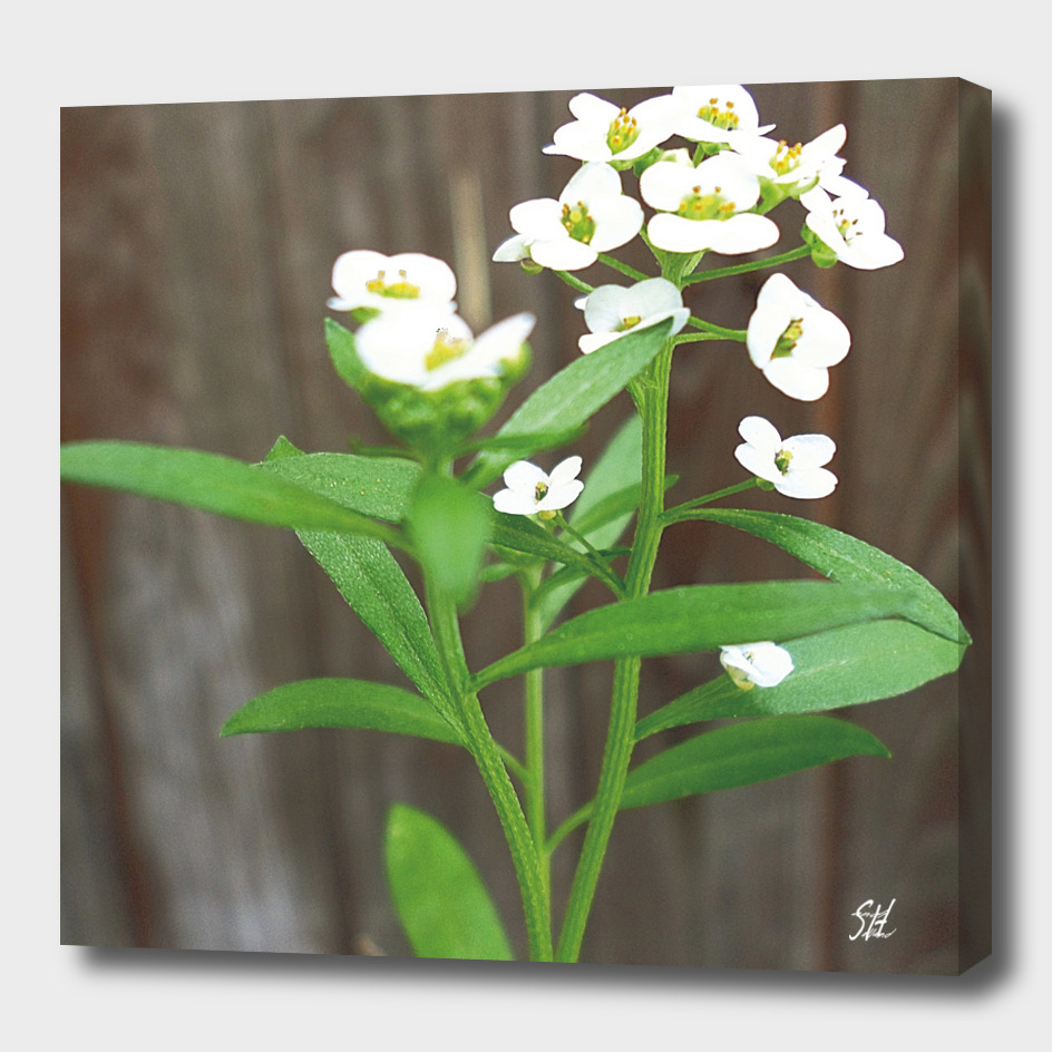 Tiny White Alyssum Wildflowers
