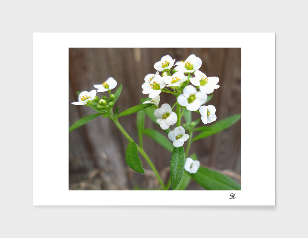 Tiny White Alyssum Wildflowers 2
