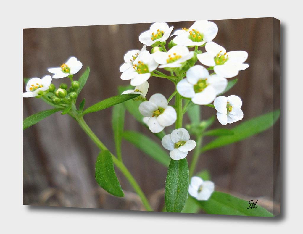 Tiny White Alyssum Wildflowers 2
