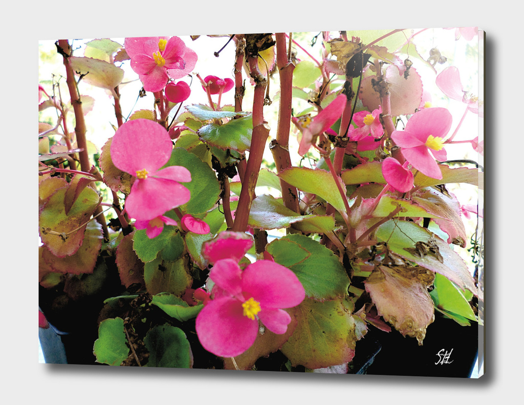 Hot Pink Begonia Flowers