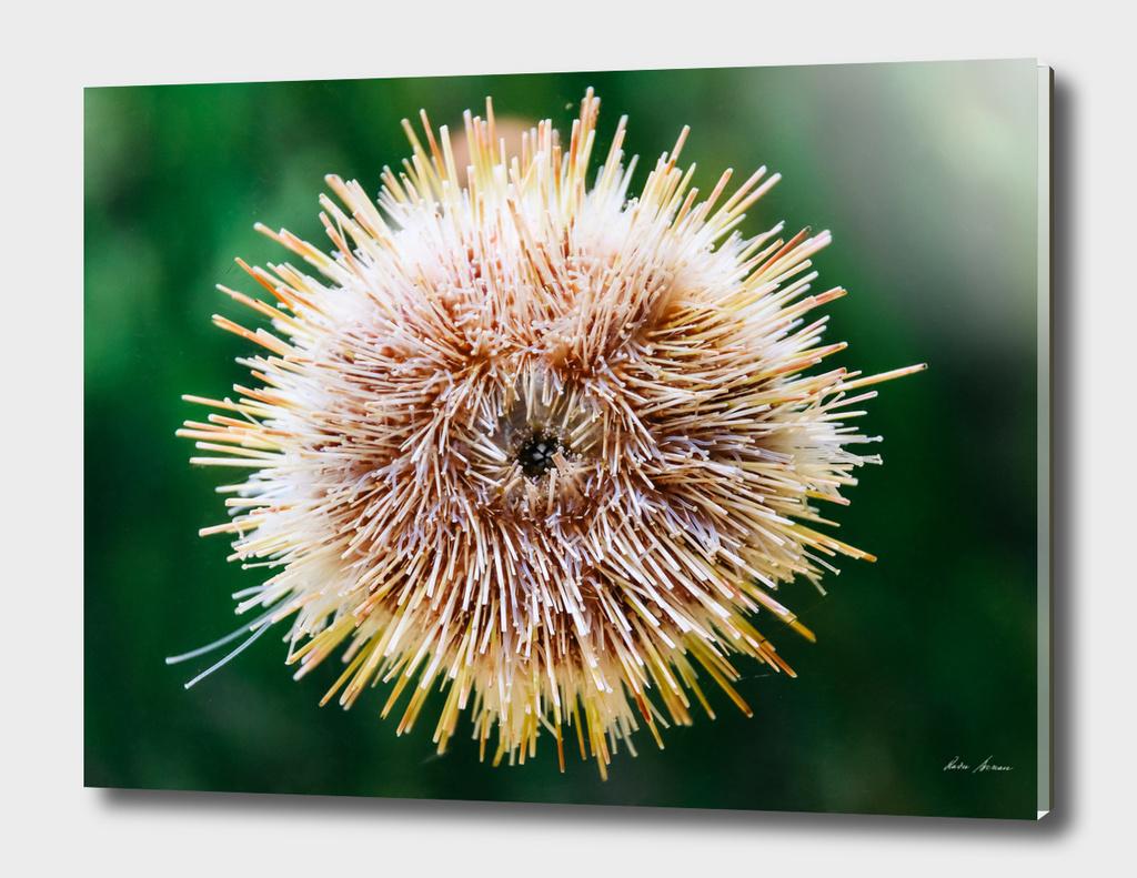Melon Sea Urchin In Aquarium