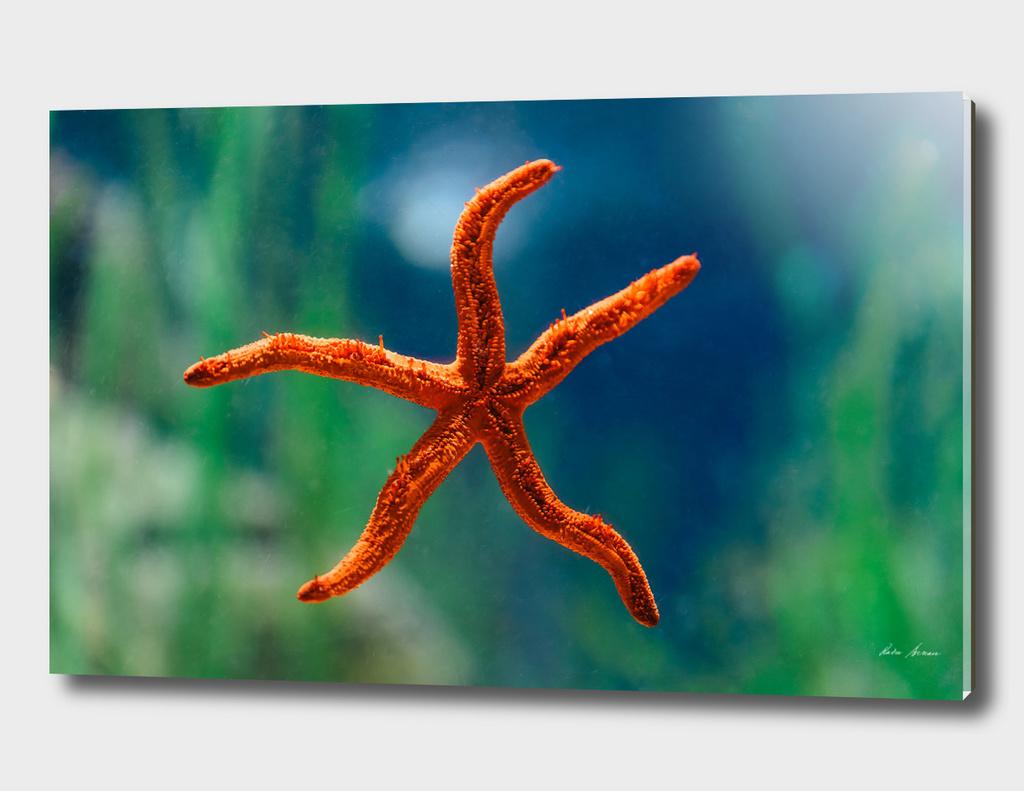 Red Starfish Macro In Aquarium