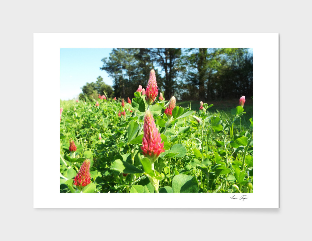 Texas Red Clover
