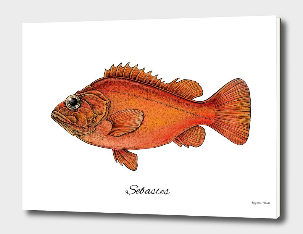 Sebastes