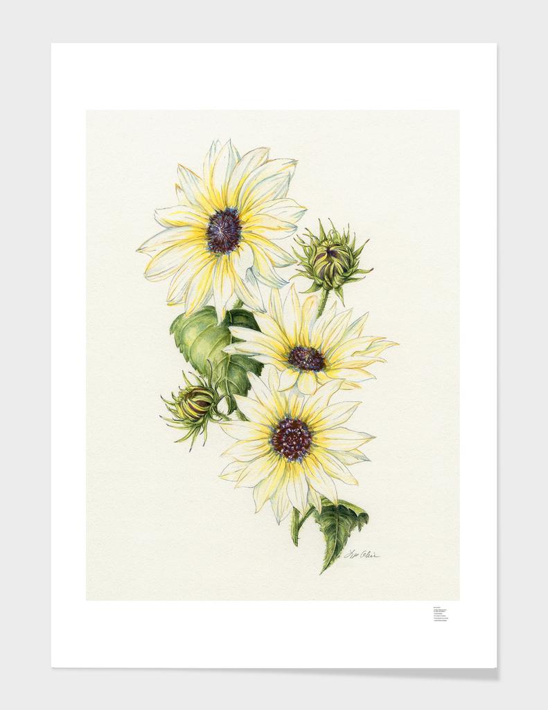 Vanilla Ice Sunflower