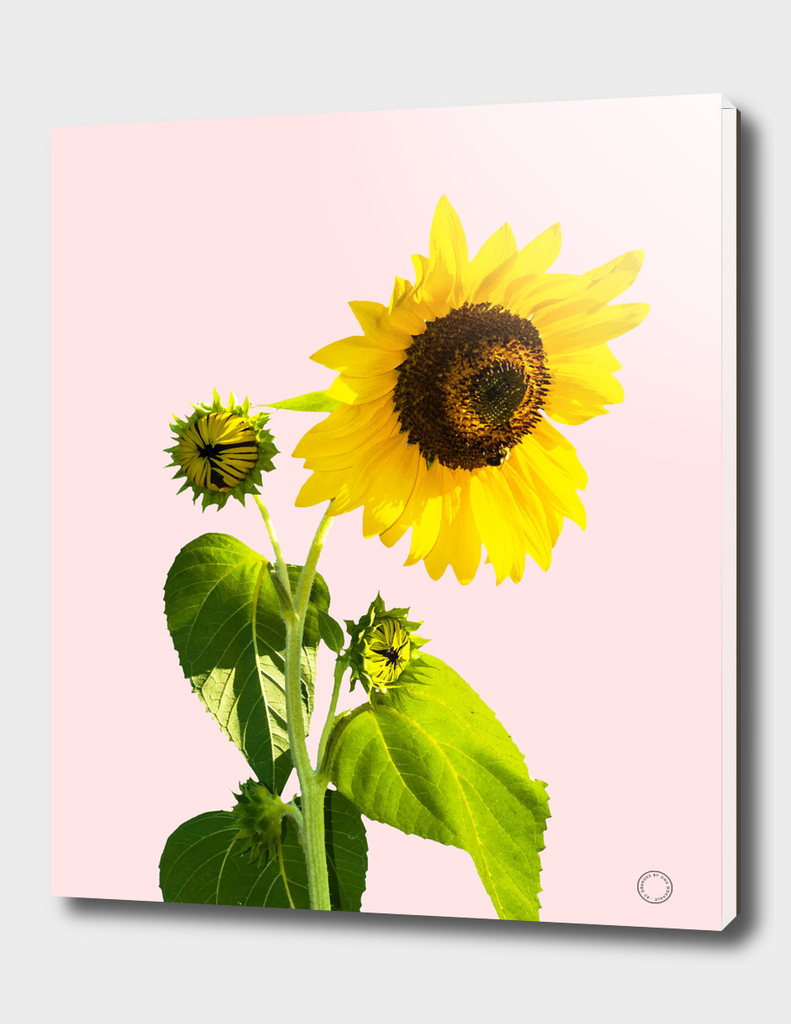 Sunflower v2