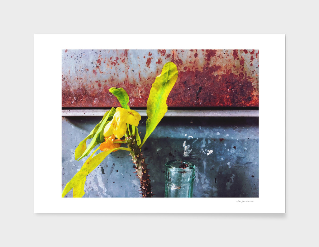 yellow euphorbia milii plant with old lusty metal background