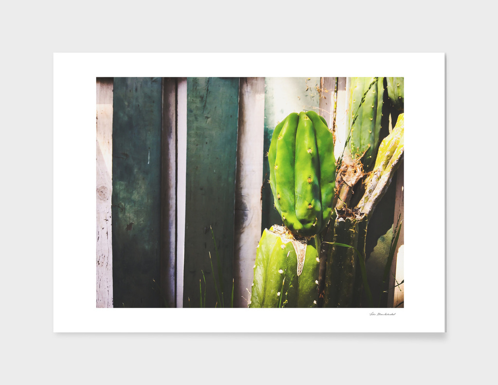green cactus with green and white wood wall background