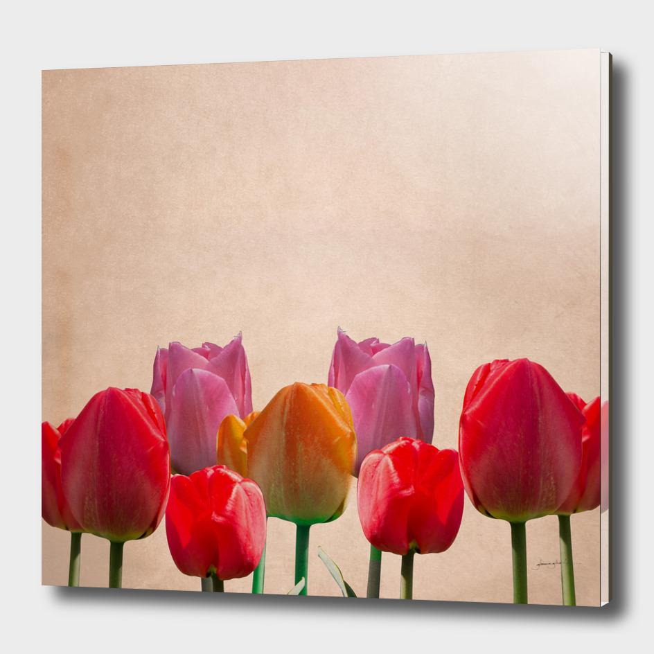 DGHINAGLIA_Tulipanes
